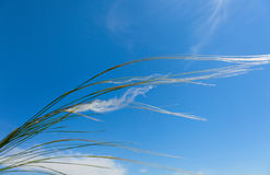 Stipa Royalty Free Stock Photos