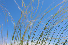 Stipa Royalty Free Stock Images