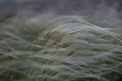 Stipa capillata as known as feather, needle, spear grass in steppe. Listed red book of Ukraine. Macro photo. Stipa capillata as known as feather, needle, spear stock photos