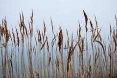 Stipa, cheegrass in the fog Royalty Free Stock Photo
