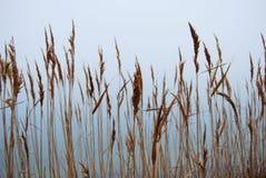 Stipa, cheegrass nella nebbia Fotografia Stock Libera da Diritti