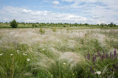 Stipa de ondulation dans la steppe ukrainienne image stock