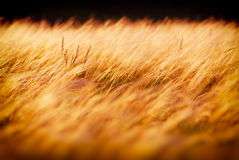 Stipa Royalty Free Stock Photography