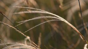 Stipa grass waves in the wind stock footage