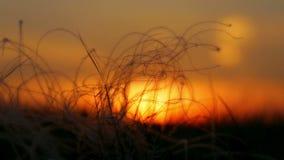 Stipa i solnedgångljus