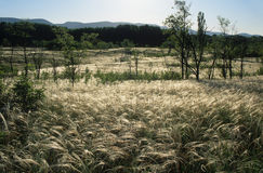 Stipa meadow Royalty Free Stock Photo