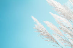 Stipa pennuta bianca di morbidezza con il retro fondo e spazio degli azzurri Immagine Stock Libera da Diritti