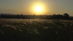 Stipa plants in the sunset light on the meadow.  stock video footage