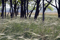 Stipa steppe in a clearing in the woods on a sunny day Royalty Free Stock Photo