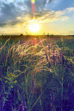 Stipe plumeux de steppe dans le domaine au lever de soleil, coucher du soleil Image libre de droits