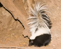 Striped skunk eating stock photo