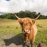 Stirling Castle seen through the horns of a Highland Cow Stock Photography