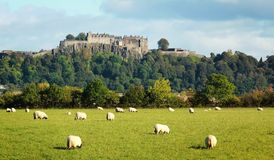 Stirling castle. White sheep graze with Stirling castle in background Royalty Free Stock Images
