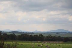 Stirling Ranges und Schafe stockbilder