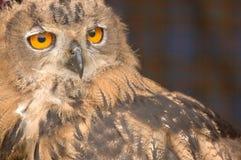stirra för 2 owl royaltyfria bilder