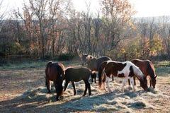 Stirra för hästar Arkivfoton