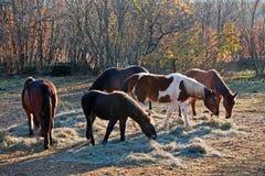 Stirra för hästar Royaltyfri Fotografi