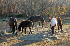 Stirra för hästar Arkivbild