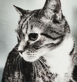 Stirra för katt Royaltyfri Bild