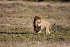 Stirra för Lion arkivfoto