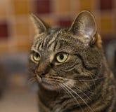 Stirra för strimmig katt. arkivbild