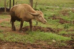 Stirra vattenbuffeln med gräsbakgrund Arkivbild
