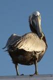 stirrande för 2 pelikan royaltyfri foto