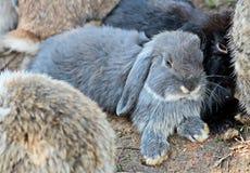 Stirrig grå kanin i en grupp av kaninfamiljen Royaltyfri Bild