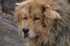 Stirrig hund Royaltyfria Foton