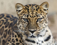 Stirrig leopard royaltyfria foton