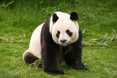 Stirrig panda Arkivfoto