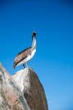 Stirrig pelikan Arkivbilder