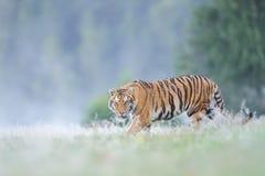 Stirrig siberian tiger royaltyfria bilder