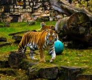 Stirrig tiger Arkivbild