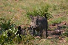 stirrig warthog Royaltyfria Bilder