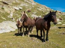Stirriga hästar Arkivfoton