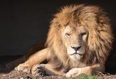 Stirrigt lejon arkivfoton