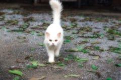 Stirrigt ser se för vit katt framåtriktat Arkivbild