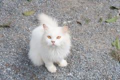 Stirrigt ser se för vit katt framåtriktat Royaltyfria Foton