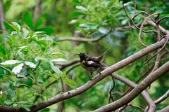 Stitch bird on Tiritiri Matangi Island open nature reserve, New Zealand stock photo