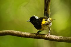 Stitchbird - Notiomystis cincta - Hihi in Maori language, endemic bird sitting on the branch in the New Zealand forest stock photos