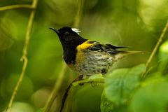Stitchbird - Notiomystis cincta - Hihi in Maori language, endemic bird sitting on the branch in the New Zealand forest royalty free stock images