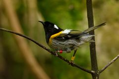 Stitchbird - Notiomystis cincta - Hihi in Maori language, endemic bird sitting on the branch in the New Zealand forest.  royalty free stock photography