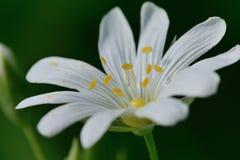 Stitchwort Royaltyfria Bilder