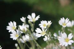 Stitchwort do Wildflower Primeiras flores da mola Flor branca em escuro - fundo verde imagens de stock royalty free