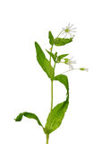 Stitchwort en bois (nemorum de Stellaria) Photos libres de droits