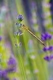 stitting在淡紫色花的蜻蜓 库存照片