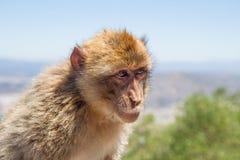 Stjäla den Barbary macaquen vagga på av Gibraltar Royaltyfri Fotografi