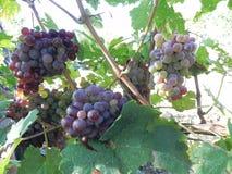 Stjälk av druvor under solen Arkivfoton
