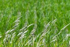Stjälk av gräs Arkivfoto